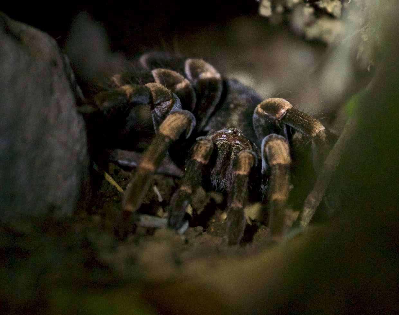 Orange-kneed tarantula (Megaphobema mesomelas)