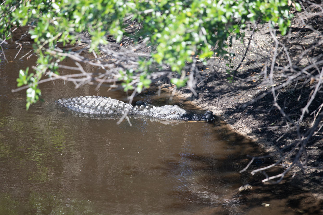 Our first alligator spotting