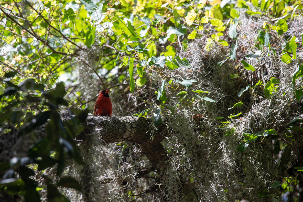 Red northern cardinal spotted on our bike ride