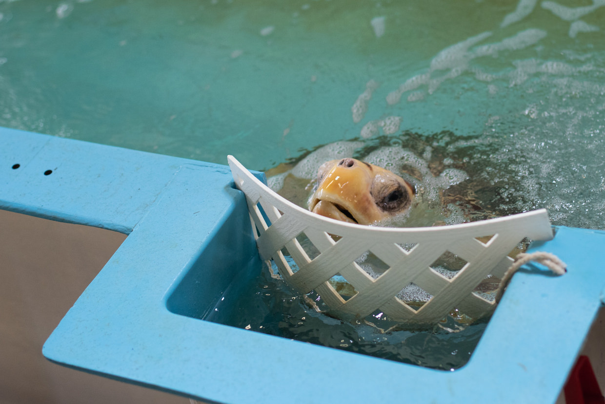A rescued green turtle
