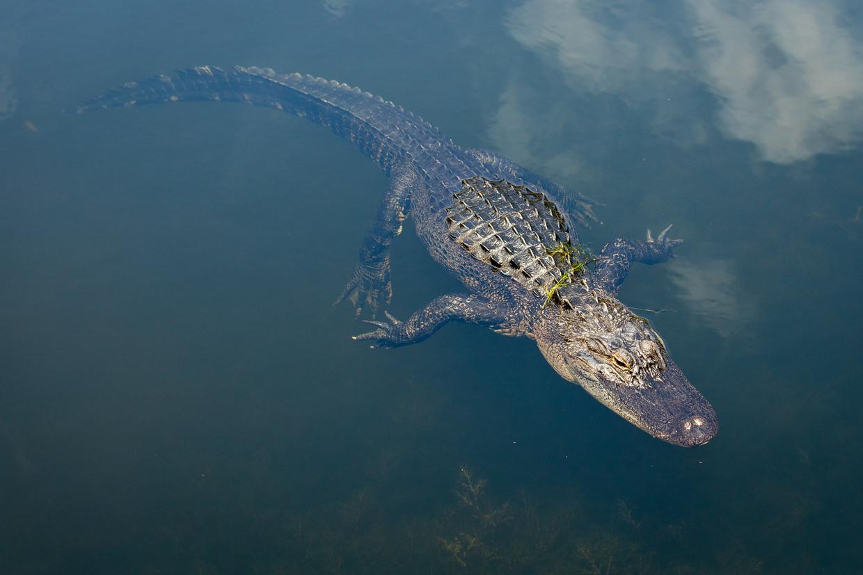Alligator at Horton Pond