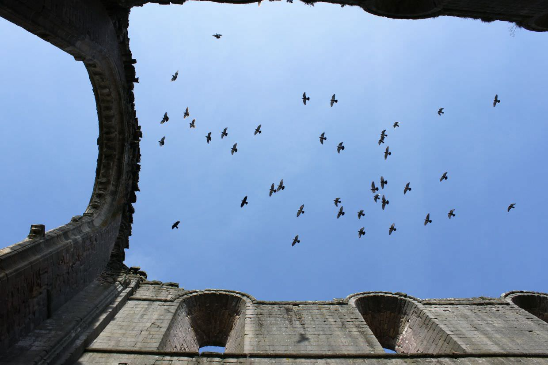 Crows flying overhead