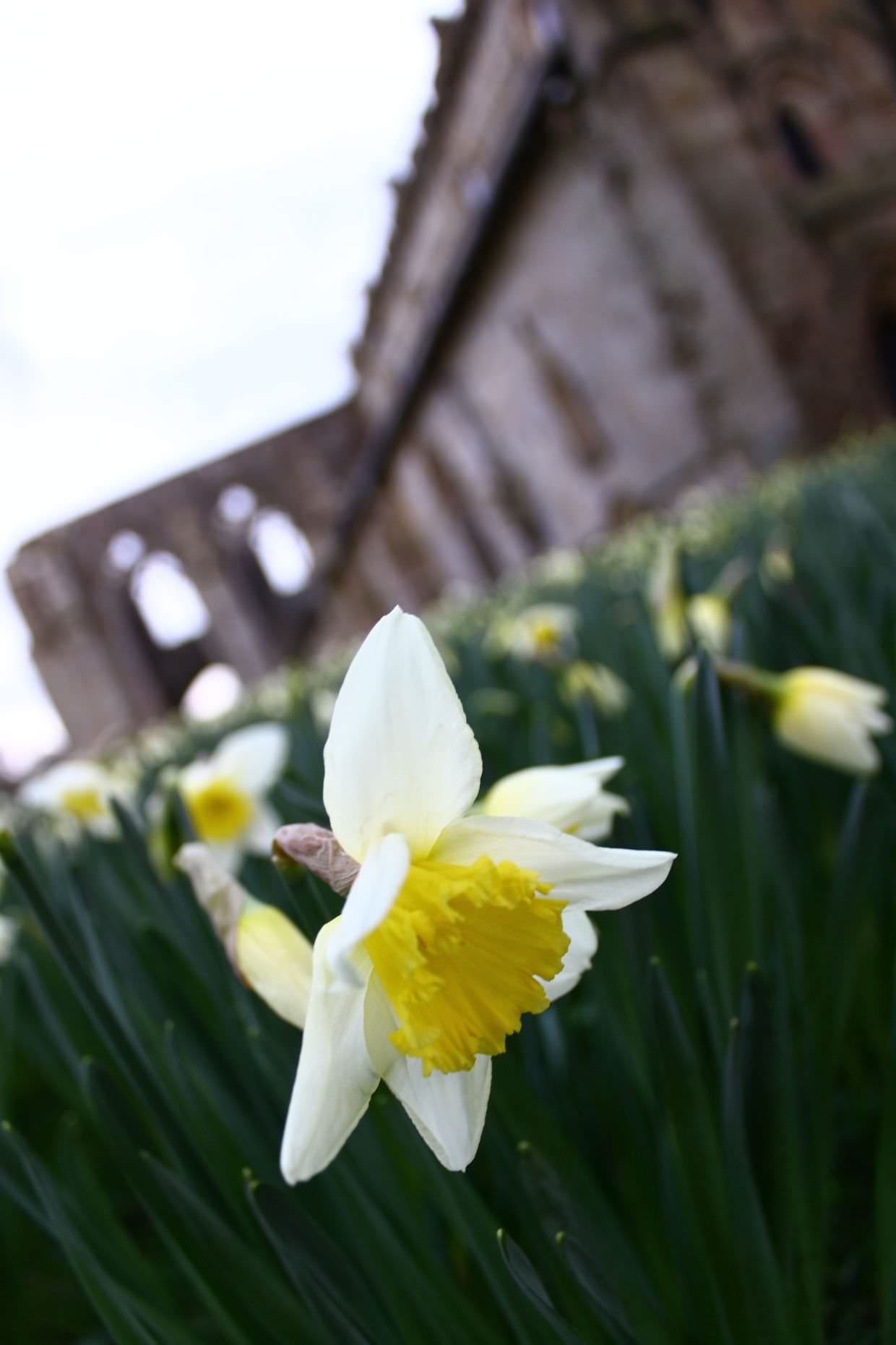 Daffodil outside the abbey