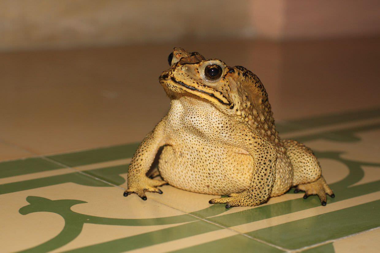 Grumpy moustache toad