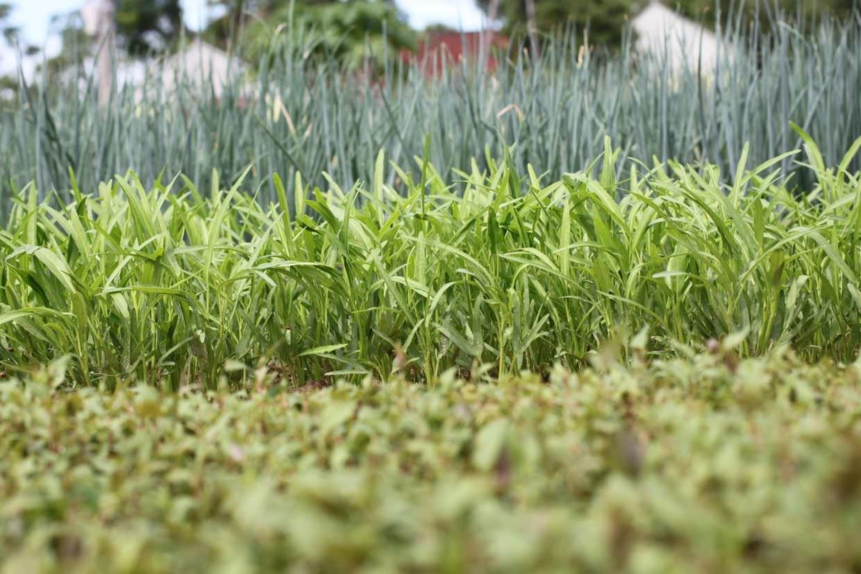 Tra Que herb garden