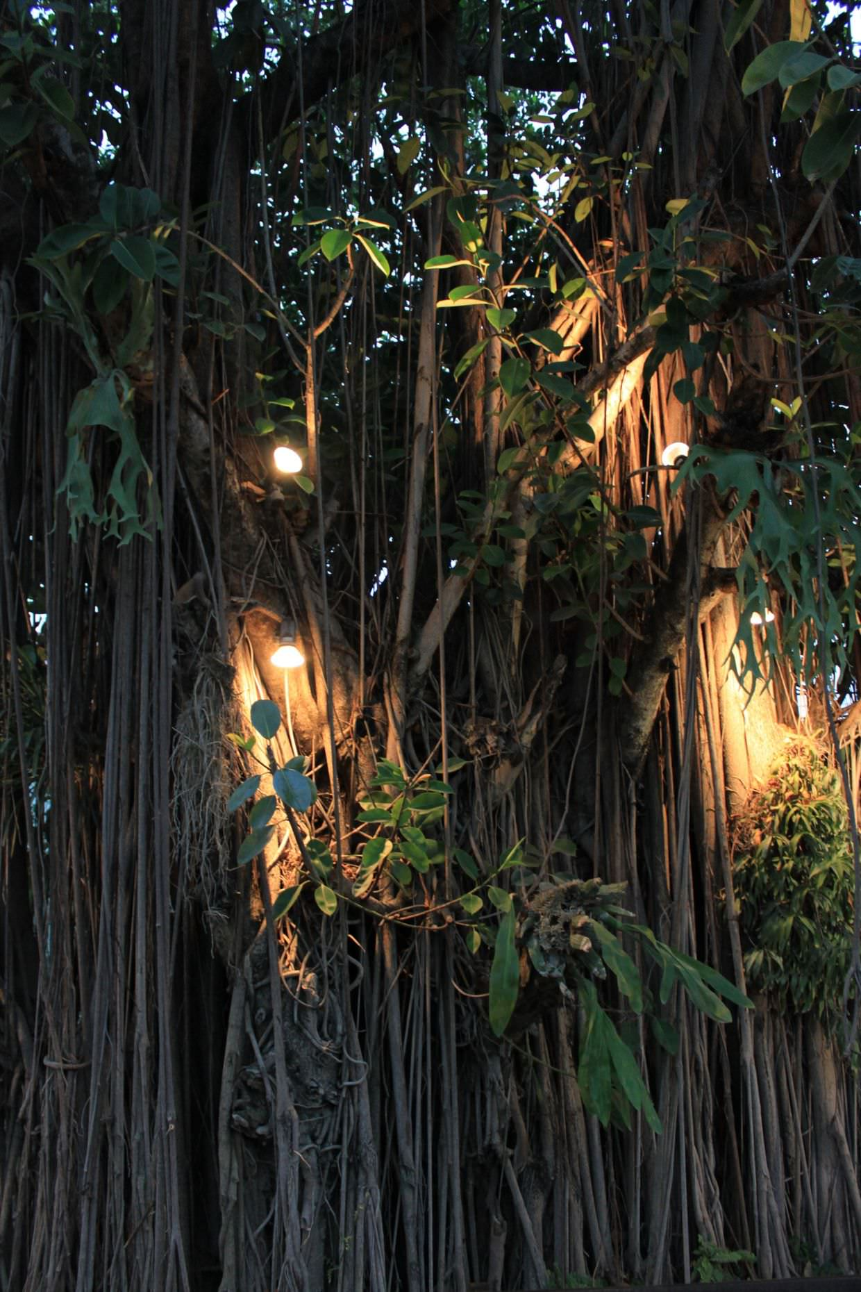 Banyan tree at Rimping Village