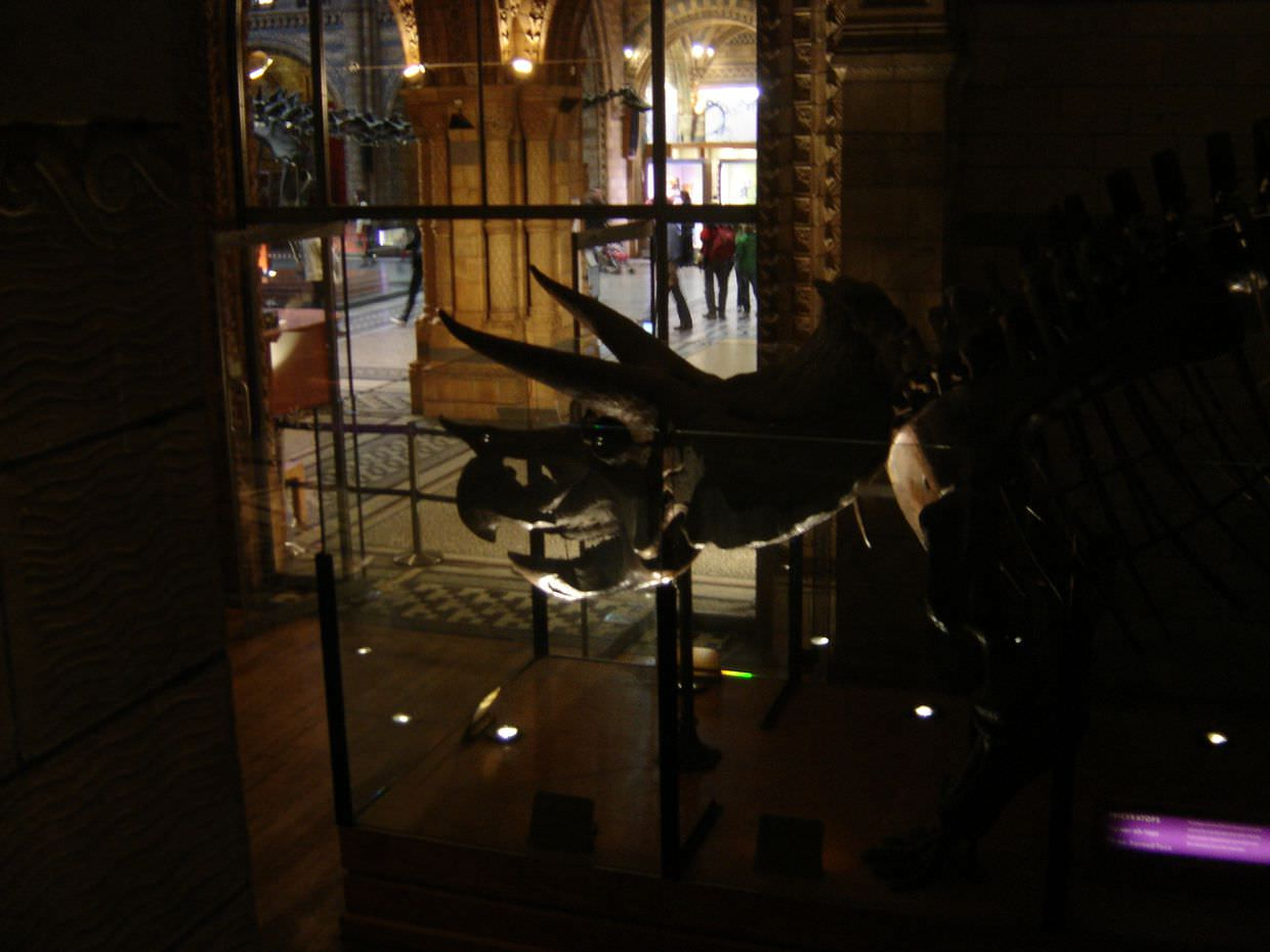 Triceratops at the Natural History museum