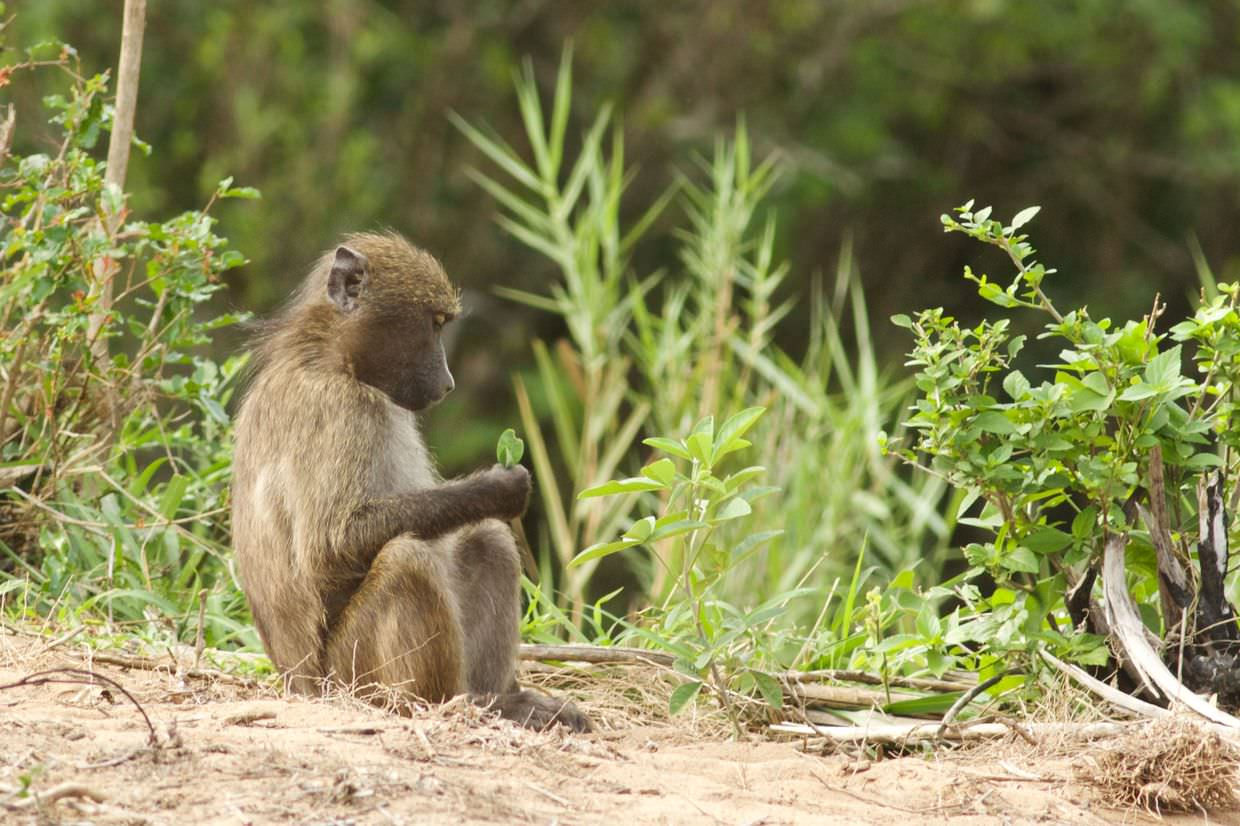 A baboon in verdant Hluhluwe