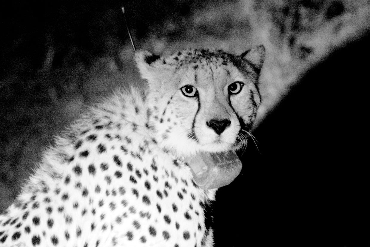 Male cheetah, CM19