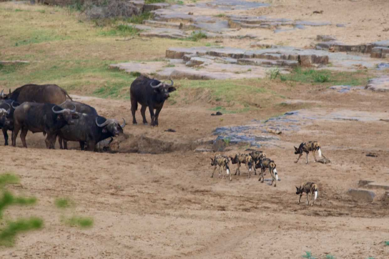 Bheji's pack of dogs toying with buffalo