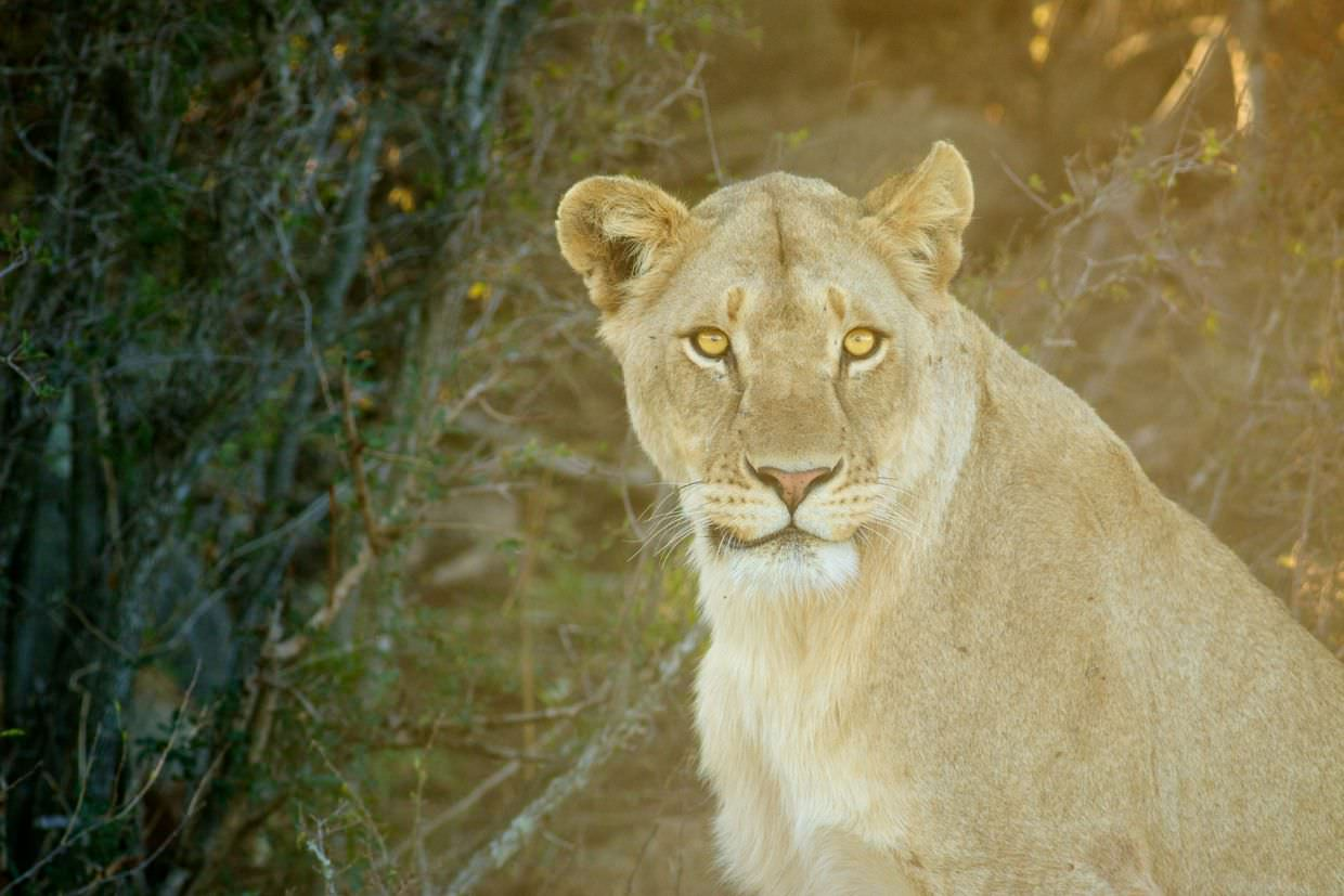 A fearful female lion sees us coming
