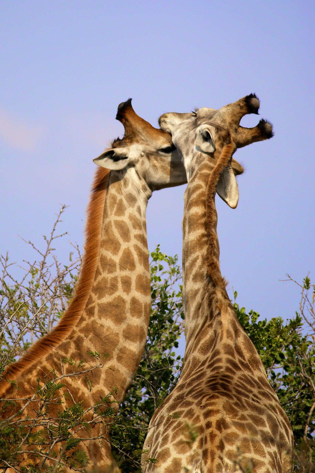 Loving giraffe siblings