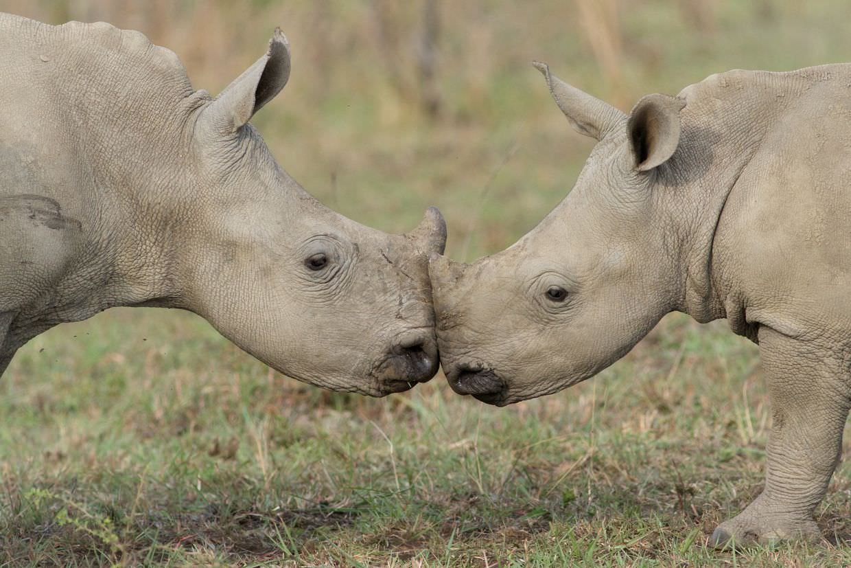 Kissing baby rhino