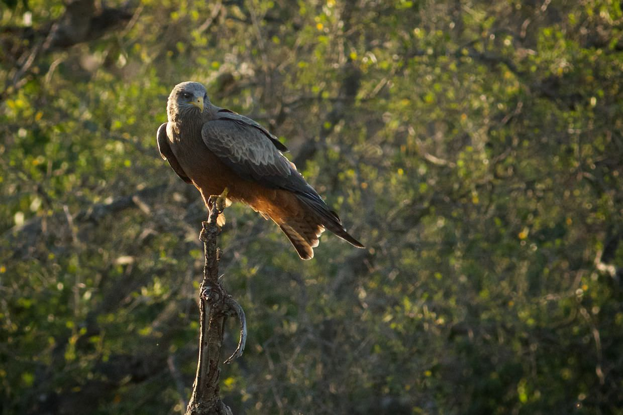 A yellow-billed kite at Mpafa hide
