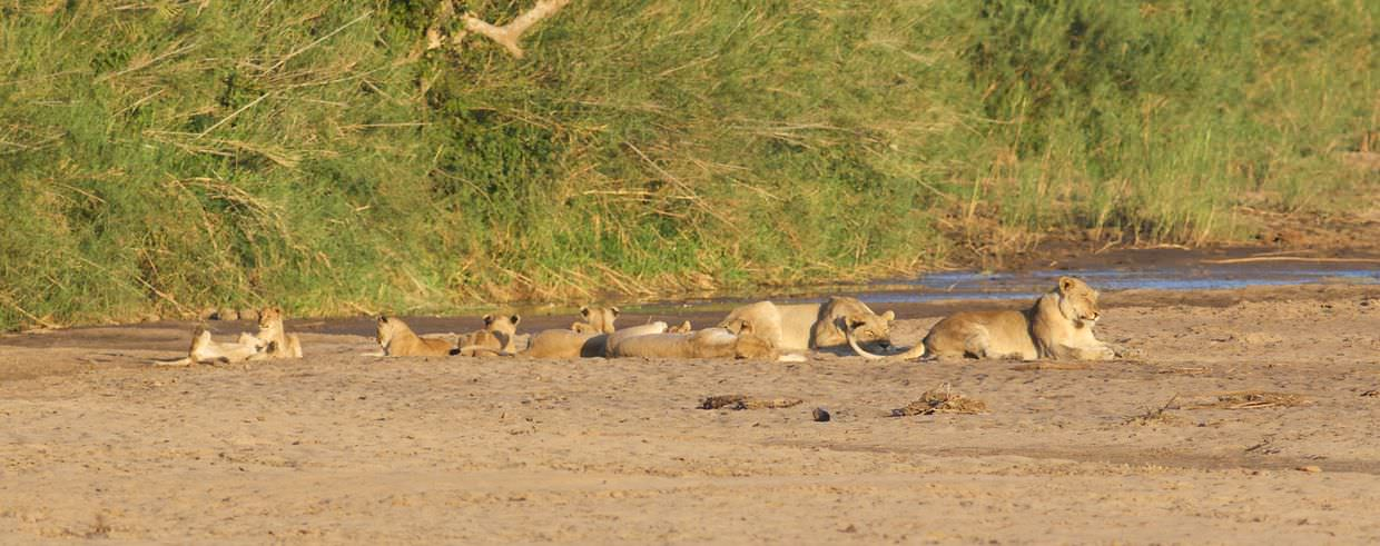 Lions and cubs playing in the riverbed