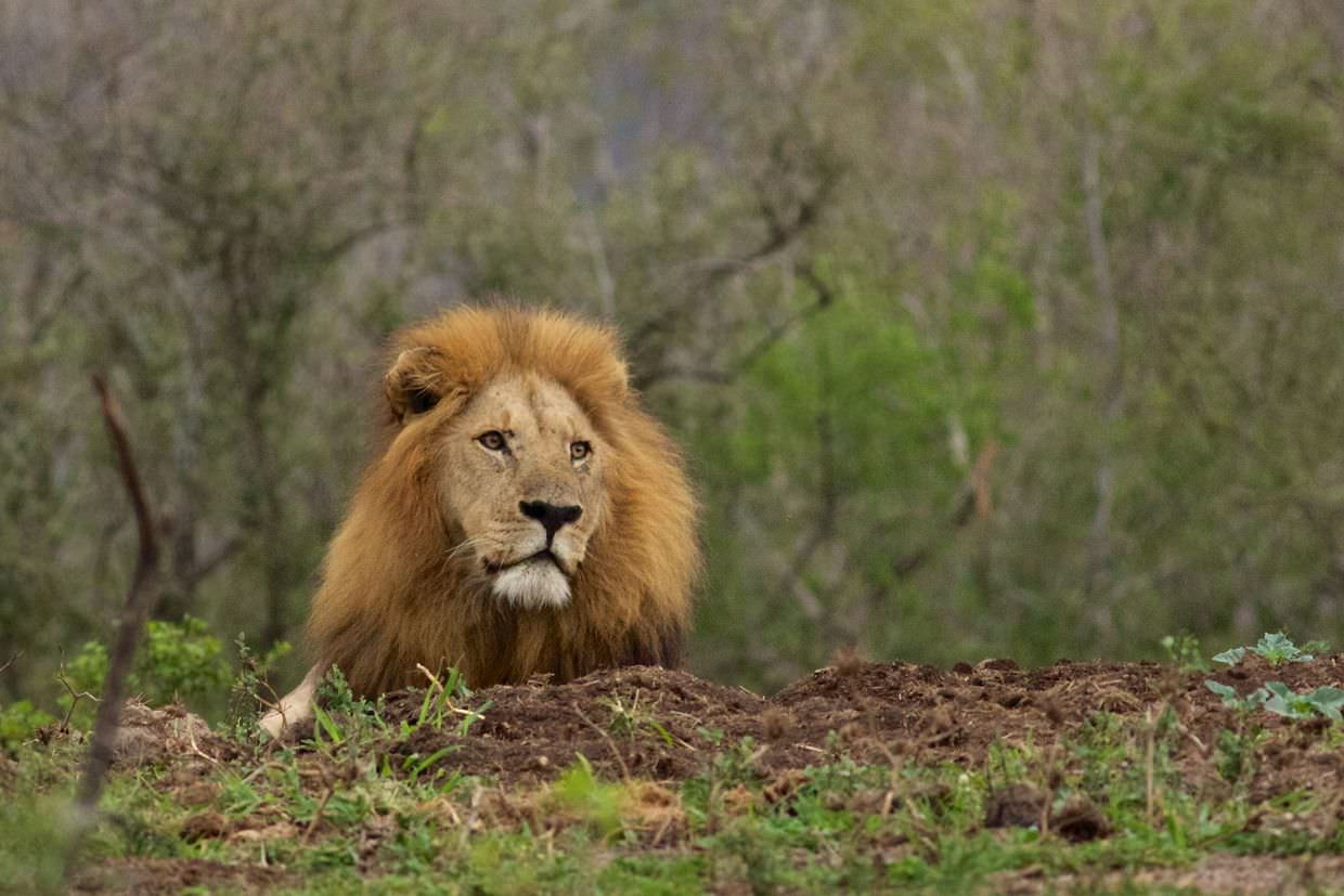 A lone male lion
