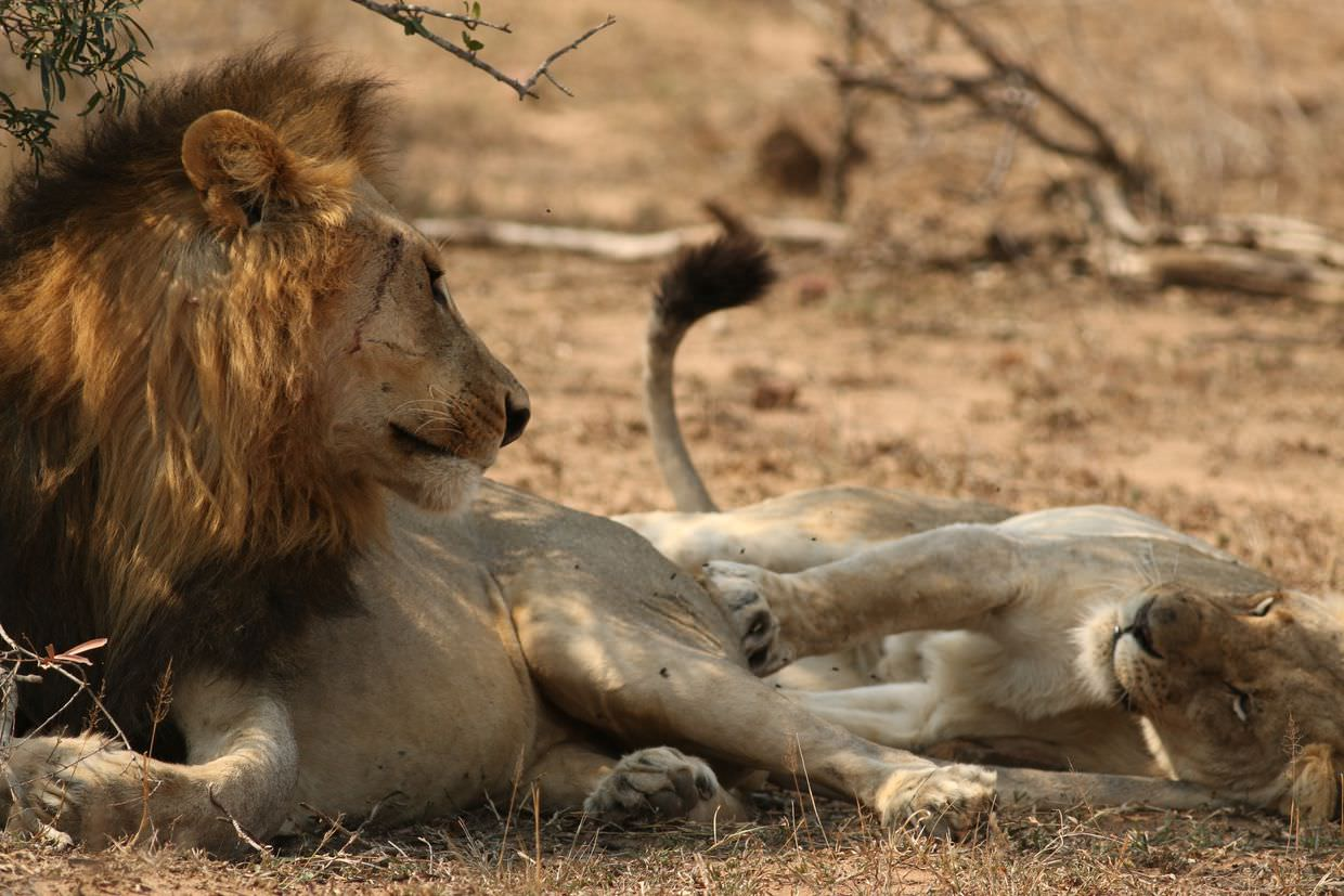 Two loving lions