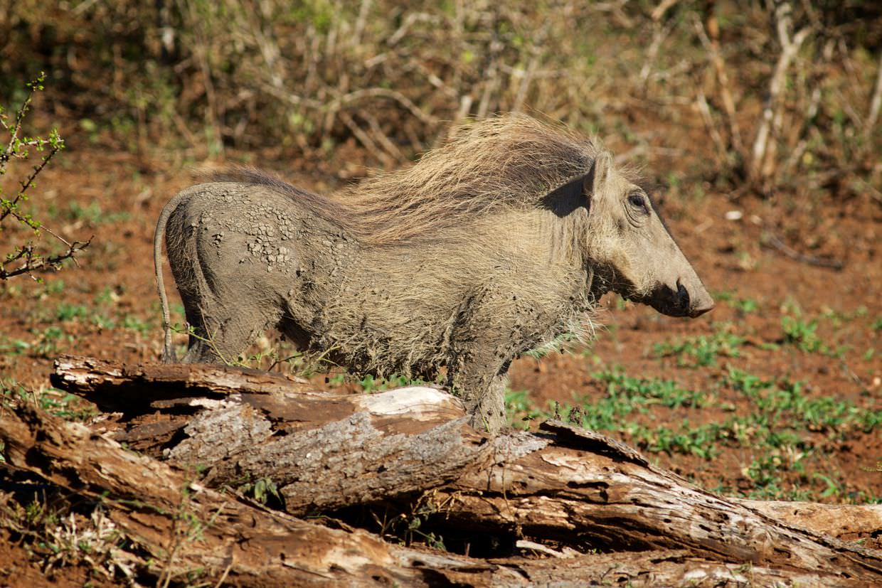 A majestic warthog spotted on route to Bheji pack's den