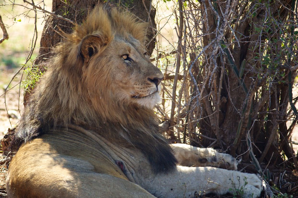 A male lion resting in the shade