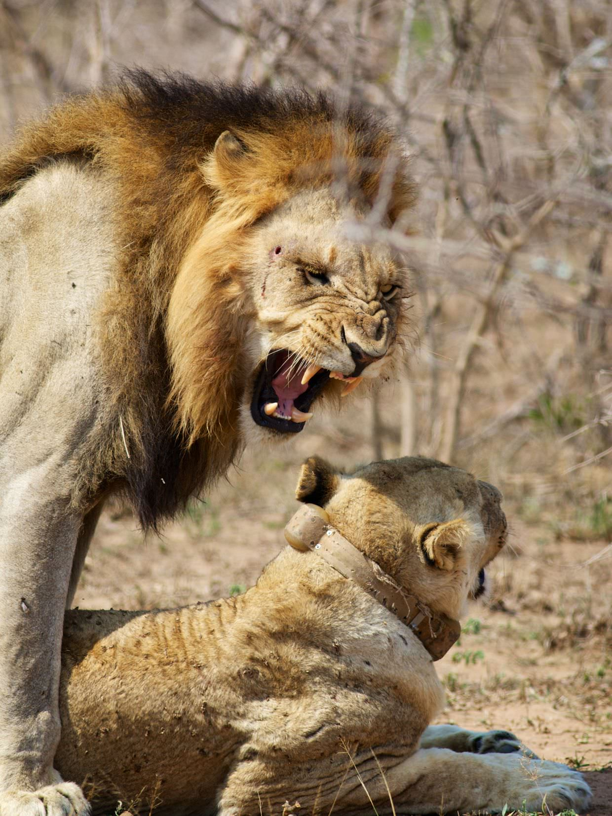 Male lion performing a flehmen response after mating