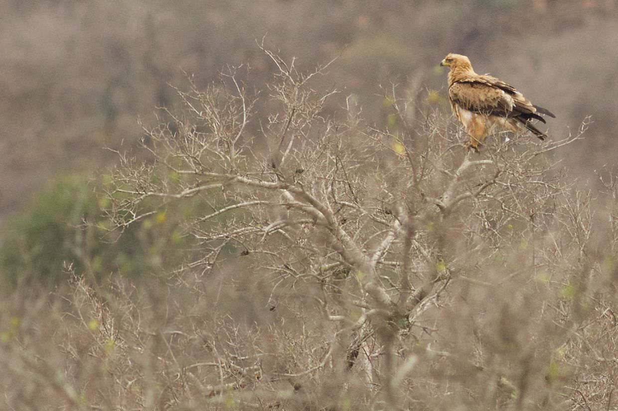 Tawny eagle over a kill site