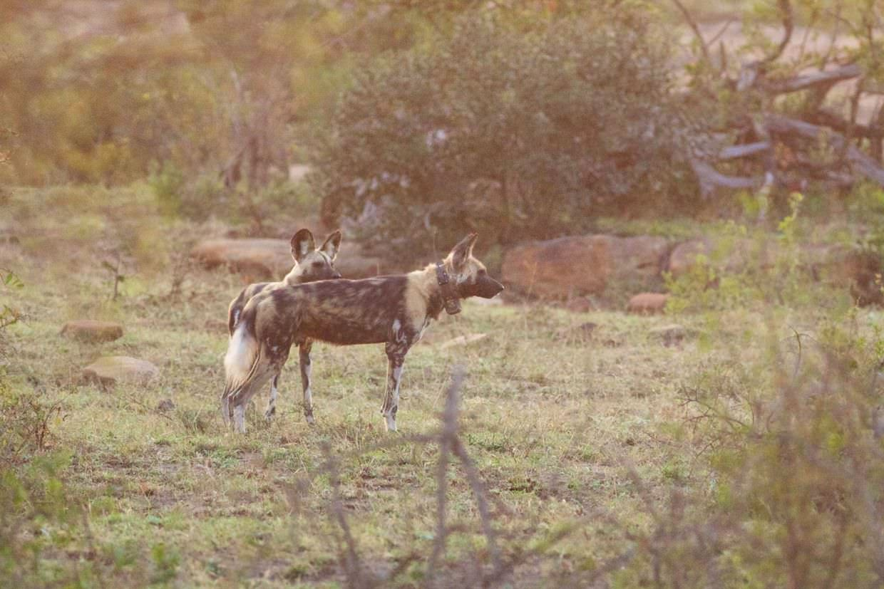 Wild dogs waiting for the pack to return