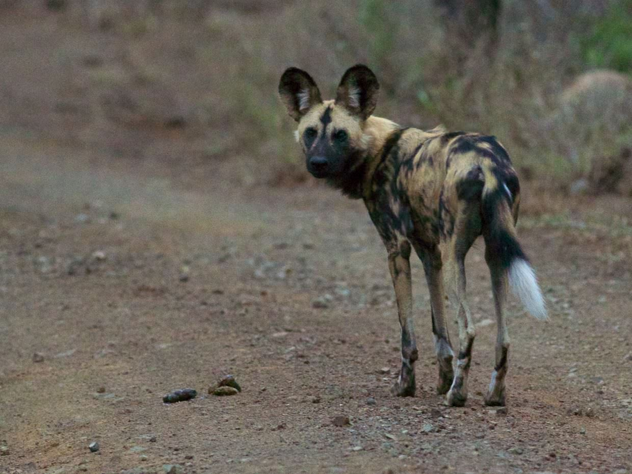 A wild dog with the faeces we needed to bag up