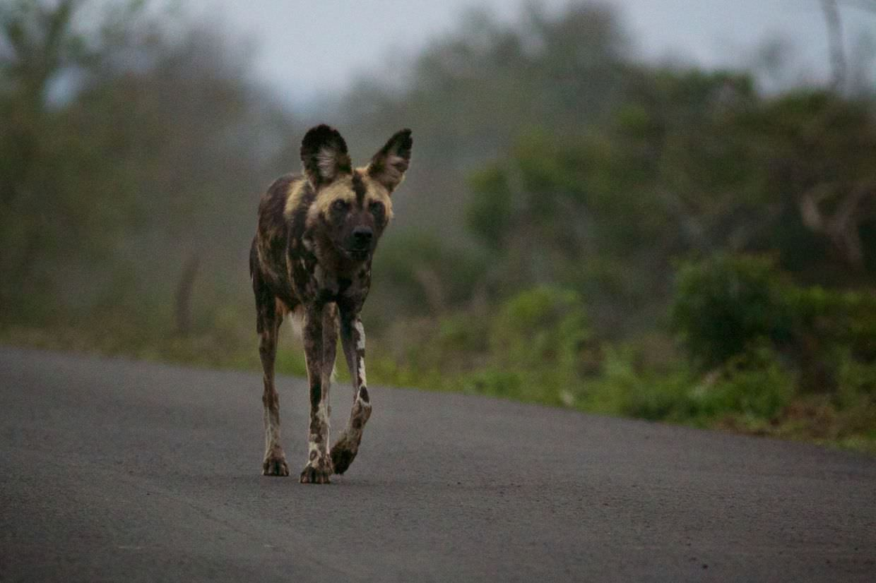 "African wild dog ""Macro"", pacing up and down the road"