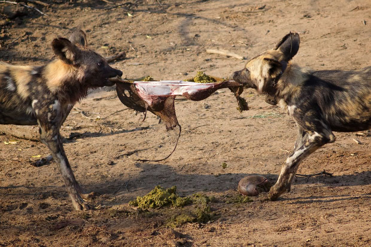 Wild dogs tearing open a stomach
