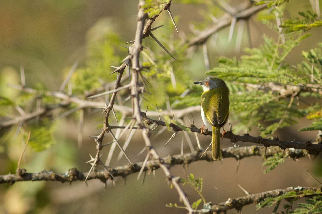 A yellow-breasted apalis