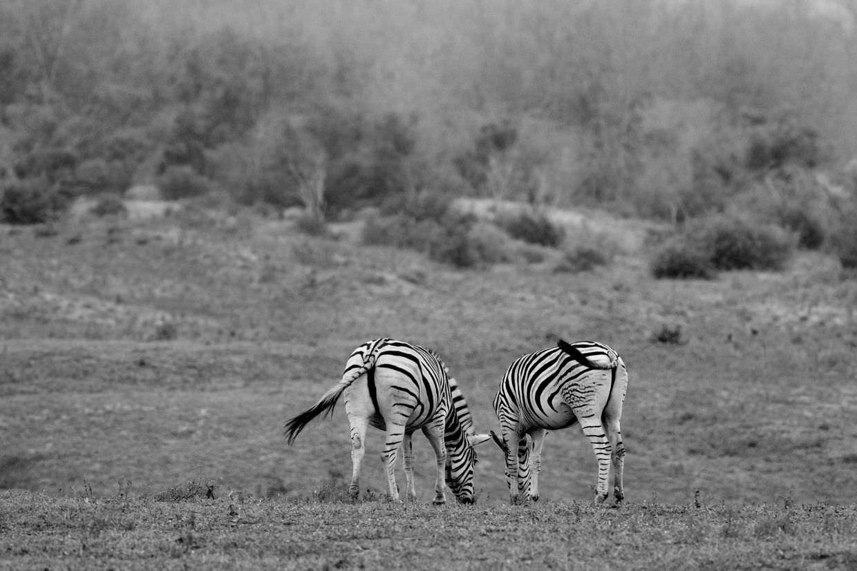 Zebra on a misty morning
