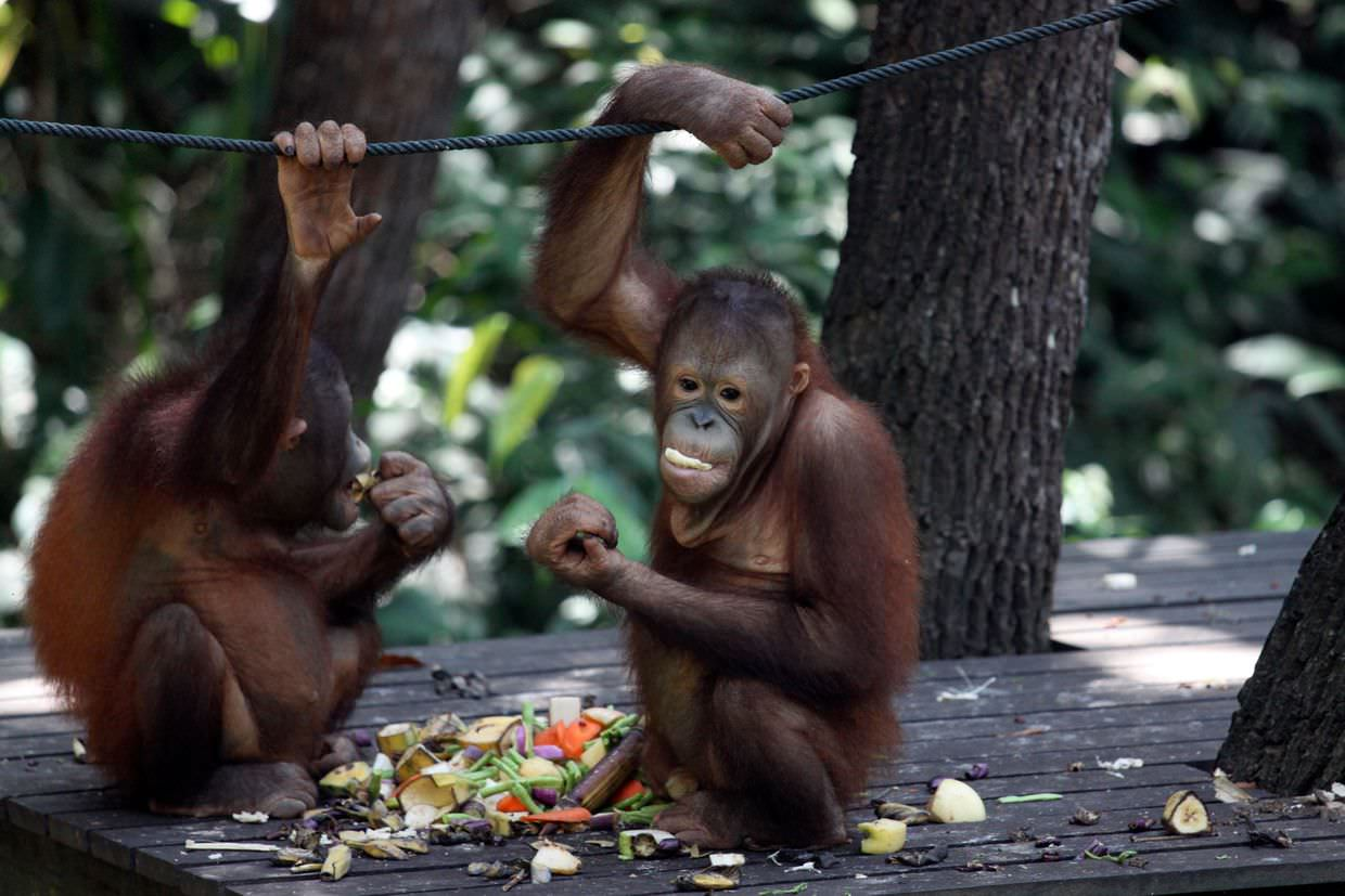 Young orang-utans feeding at the hotel nature reserve