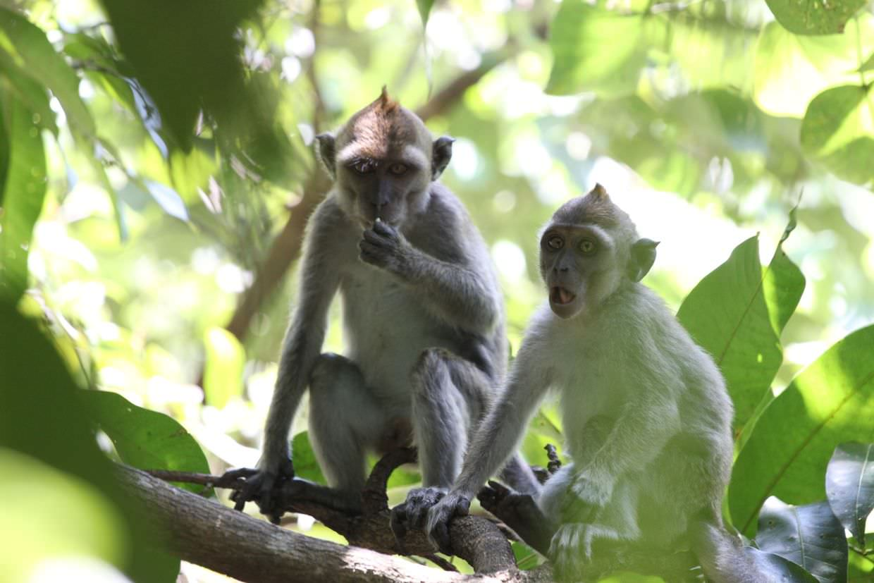 Stunned long-tailed macaques