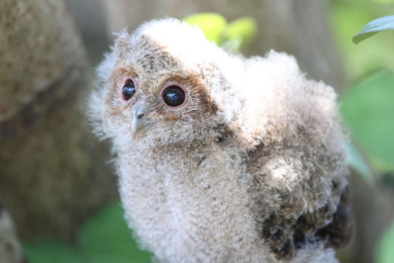Terrified baby scops owl