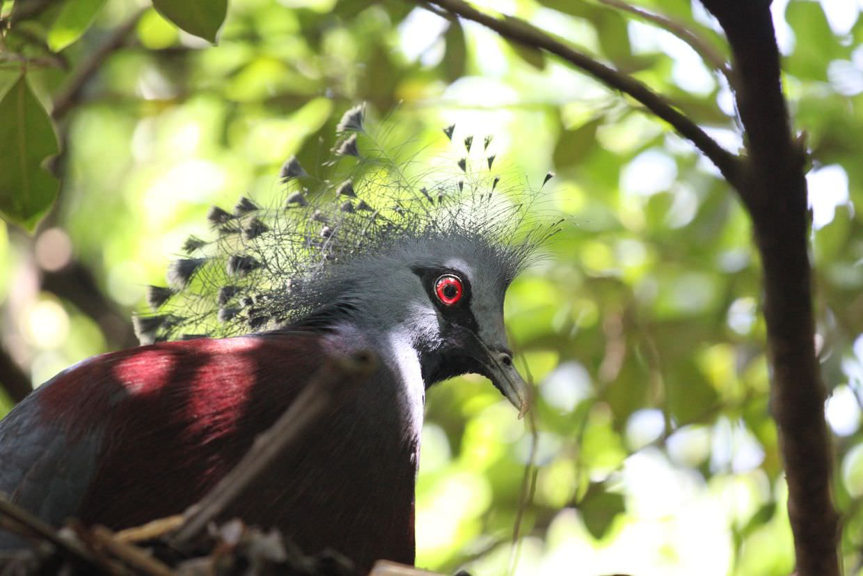 Western and Victorian Crowned Pigeon at KL Bird Park