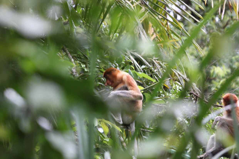 Female Proboscis monkeys at Bako national park