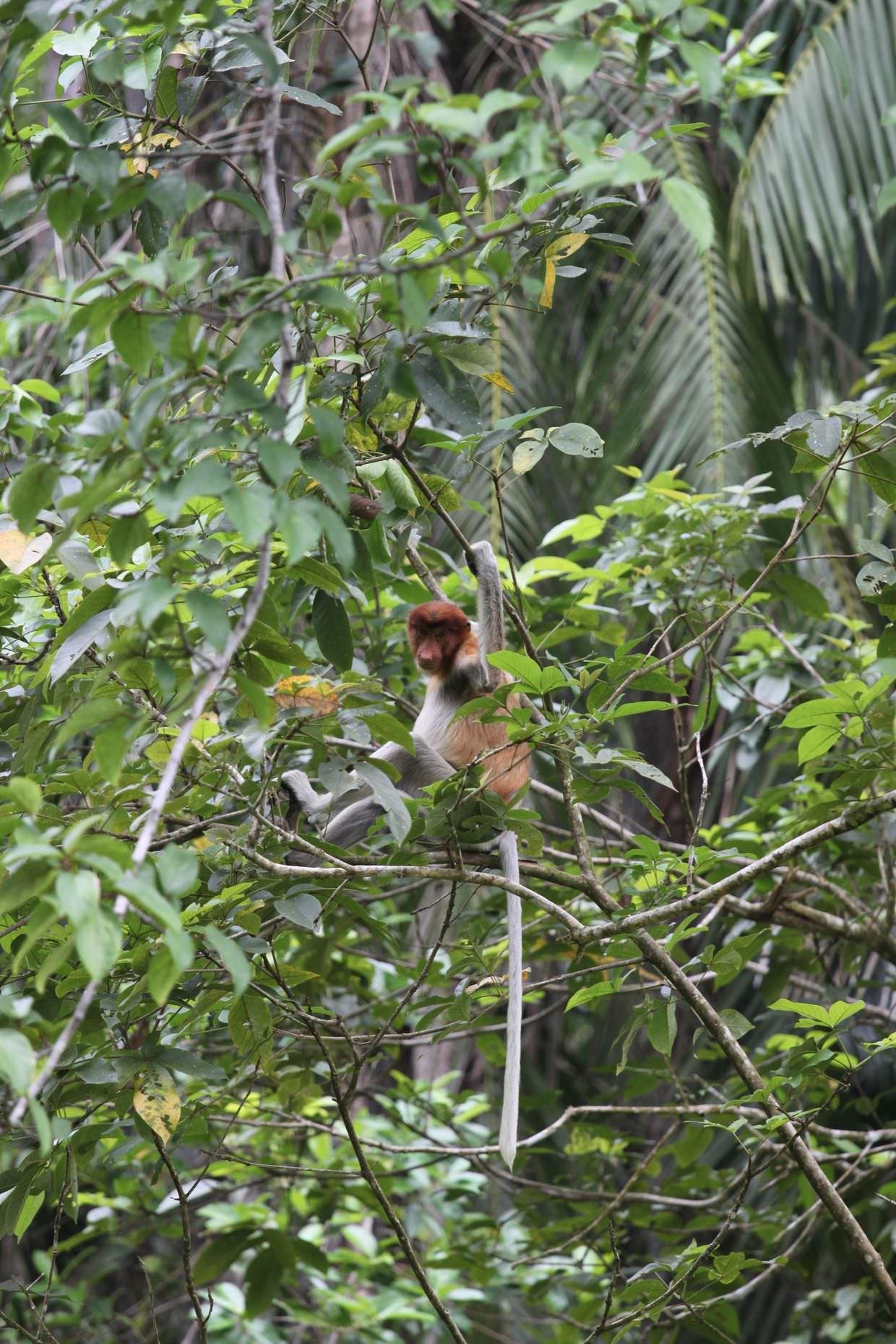 Female proboscis monkey in a tree