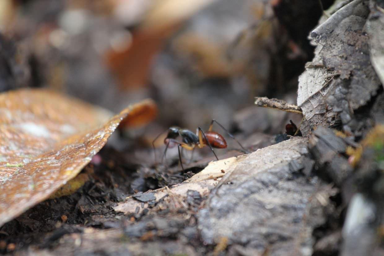 A beastly ant at Semenggoh