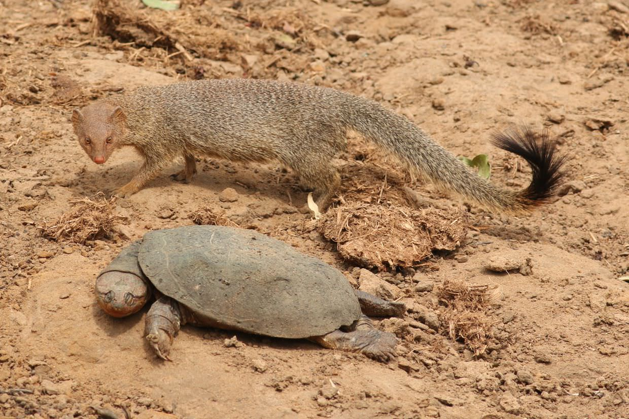 Mongoose and a turtle