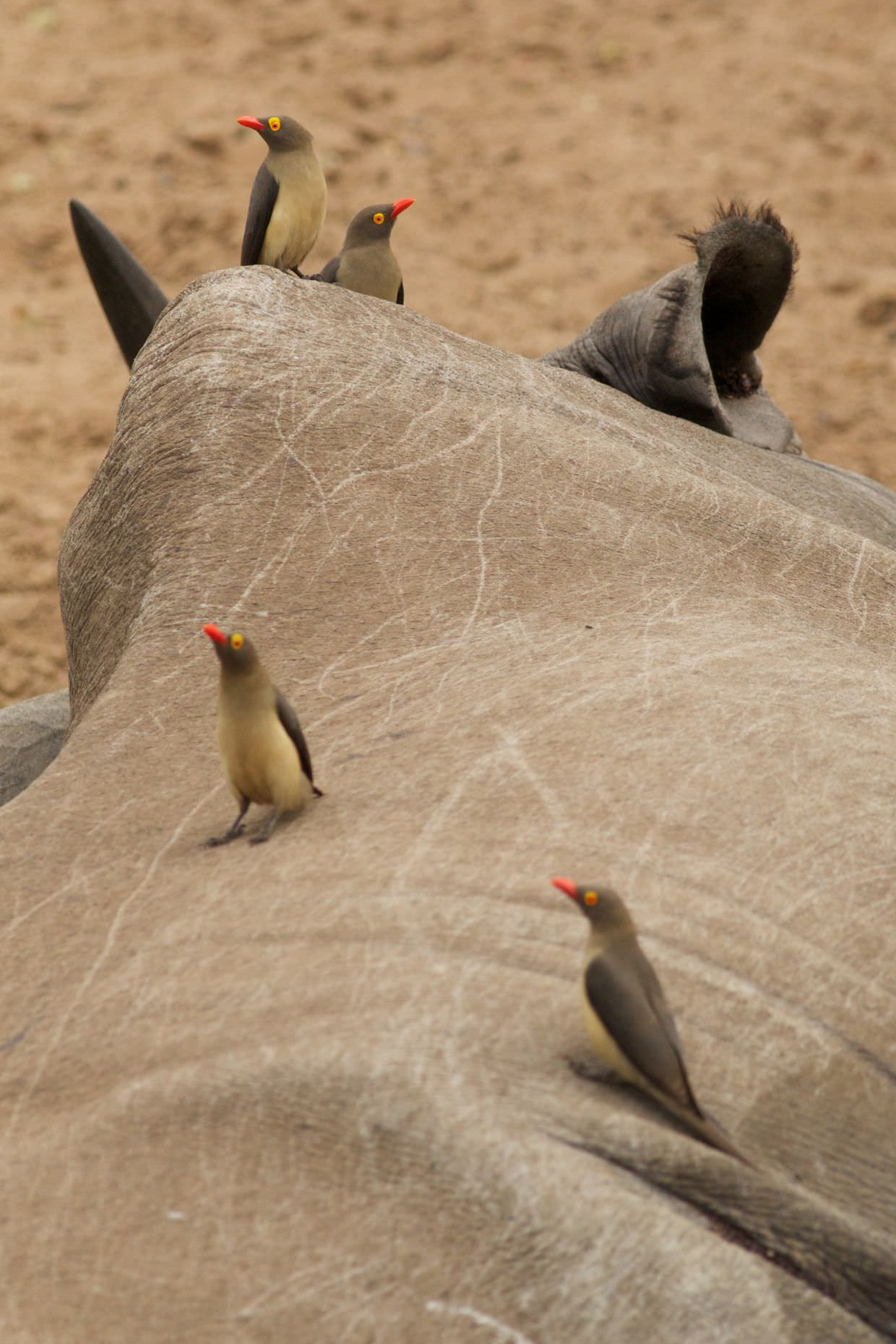 Oxpeckers on a rhino
