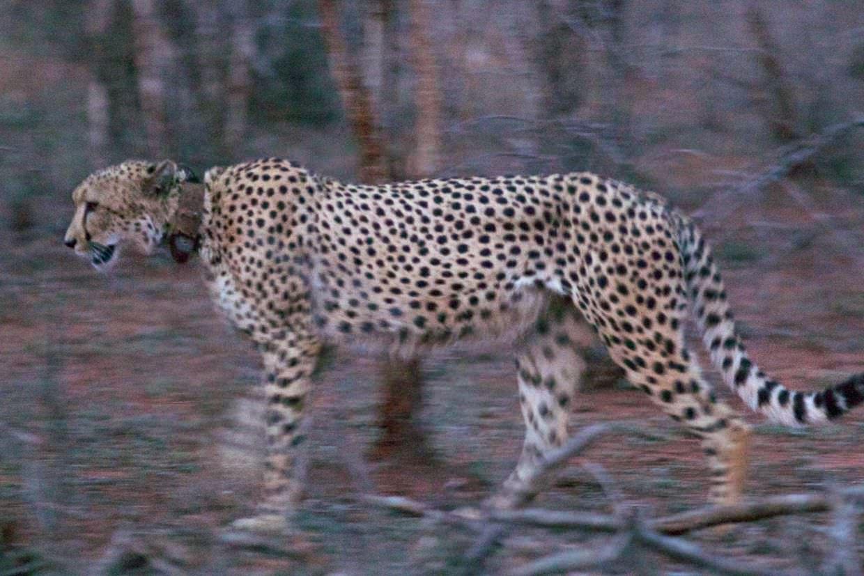Cheetah MCM17 or MCM18, walking at night