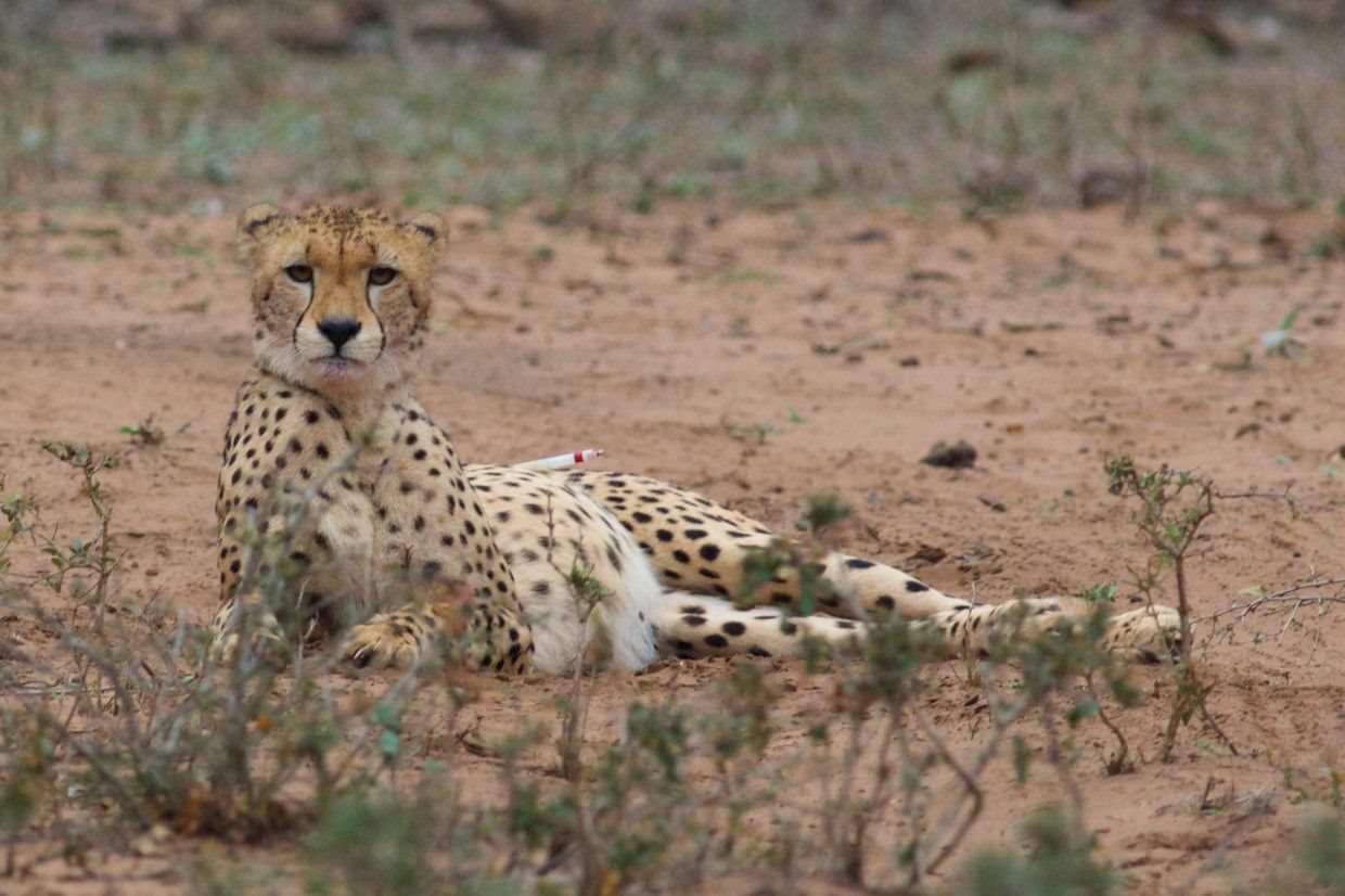 Cheetah with a dart in her leg