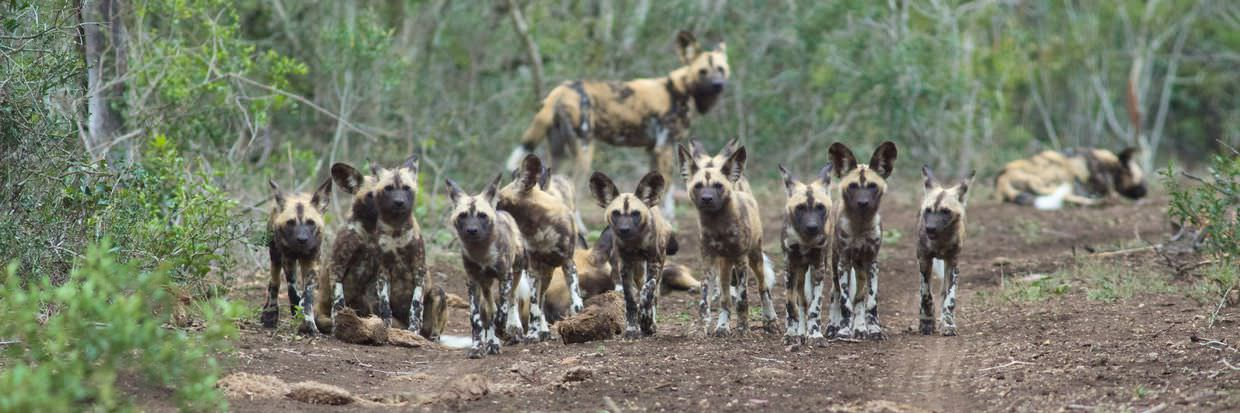 A gang of wild dog puppies