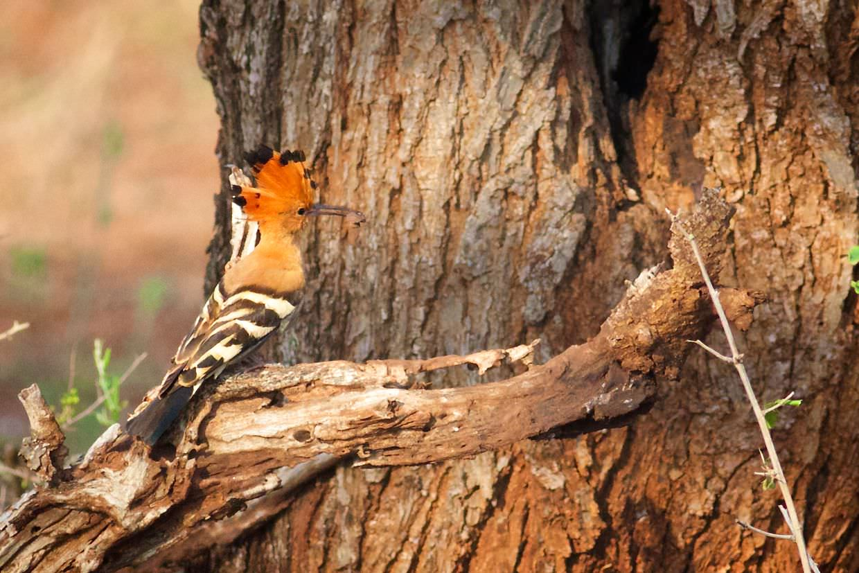 African Hoopoe besides its nest, holding a beetle