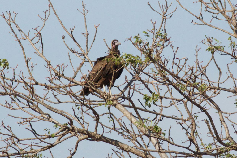 Juvenile hooded vulture