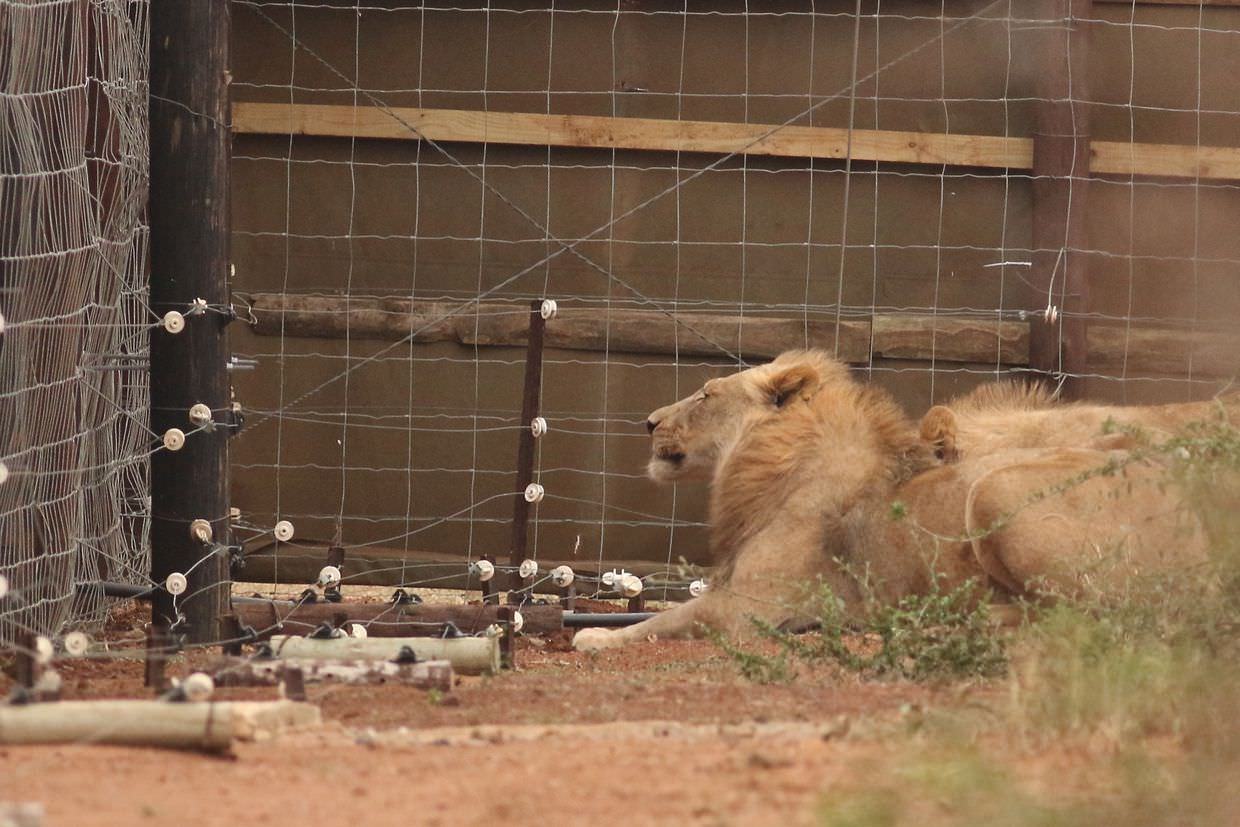 The Kalihari lions examining our new black plastic pipe, shortly before removing it. (This corner of the boma has closed fencing but the rest of the fences are open)