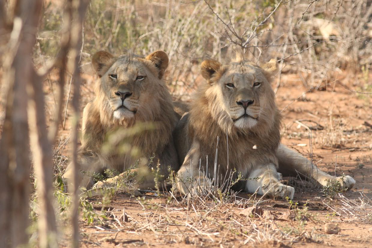 The Kalihari male lions in the boma