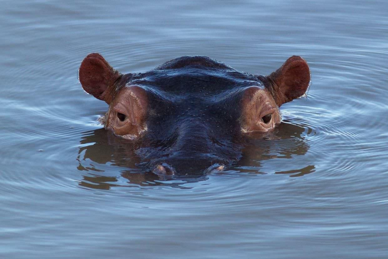 Classic hippo