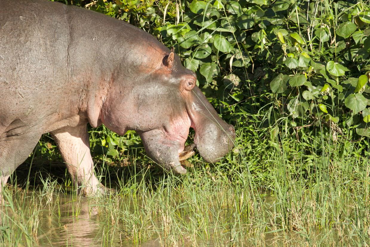 Hippo out and about