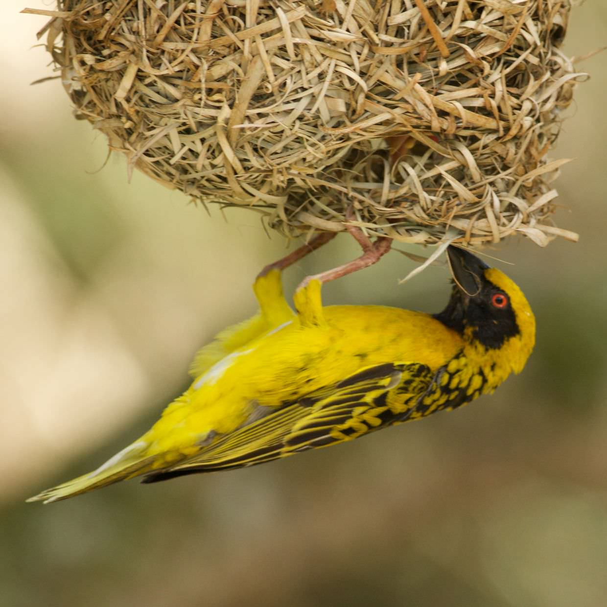 Another weaver and nest